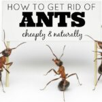How to get rid of ants cheaply and naturally | Nutritionally Wealthy