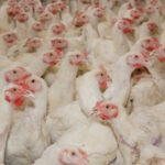 Welcome to the Secret World of Cheap Chicken